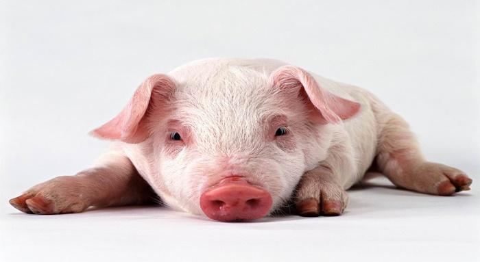 你在老闆眼中是不是豬頭呢???